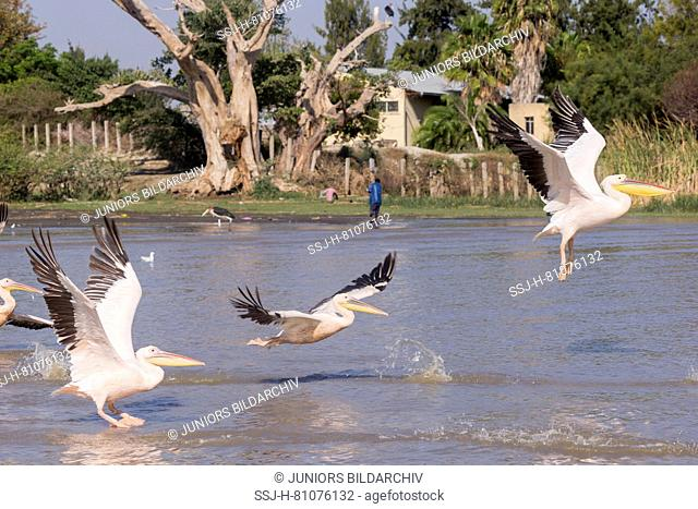 Great White Pelican (Pelecanus onocrotalus). Group of adults around fishermen boats, they are waiting for the remains of fish thrown by the fishermen