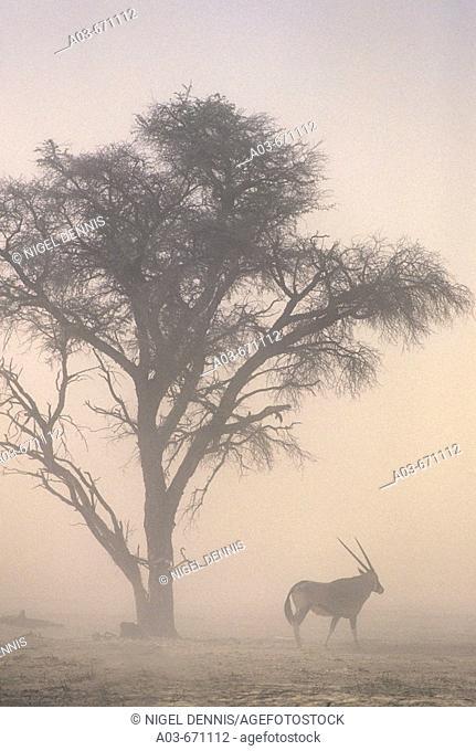 Global Warming, Sandstorm and Gemsbok oryx at 40C temperatures, Kgalagadi Transfrontier Park, South Africa