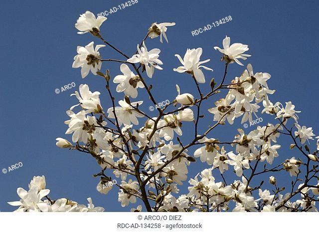 Magnolia  'Donna' Magnolia kobus var loebneri