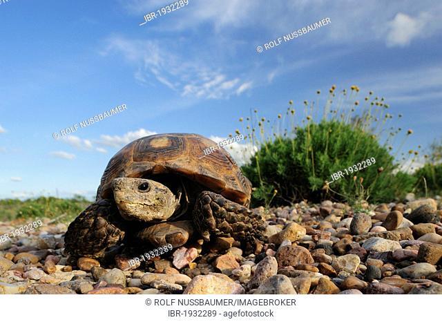 Texas Tortoise (Gopherus berlandieri), adult walking, Laredo, Webb County, South Texas, USA, America