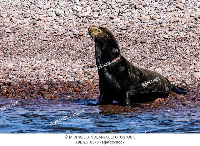 California sea lion bull, Zalophus californianus, with monofilament net around neck on Isla San Pedro Martir, Baja California, Mexico