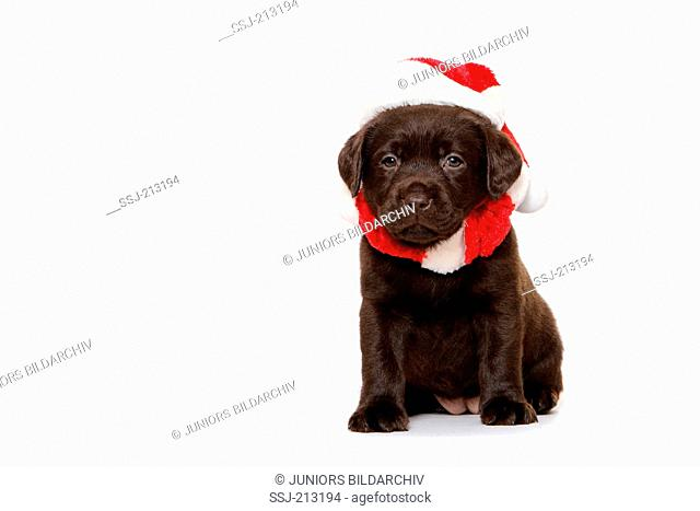 Labrador Retriever. Brown puppy (6 weeks old) sitting, wearing Santa Claus hat and muffler. Studio picture against a white background. Germany