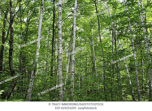A forest of birch and maple trees in Ellison Bluff State Natural Area, Ellison Bay, Door County, Wisconsin, USA