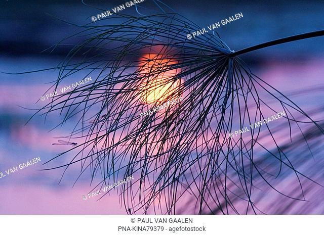 Papyrus Cyperus papyrus - Jao concession, Okavango delta, Botswana, Africa