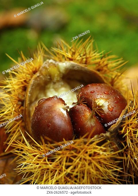 Detail of fallen chestnuts and bur (Castanea sativa). Viladrau village countryside. Autumn at Montseny Natural Park. Barcelona province, Catalonia, Spain