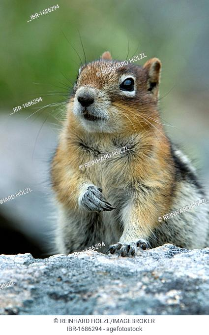 Golden-mantled ground squirrel (Spermophilus lateralis), Grand Teton National Park, Wyoming, USA, North America