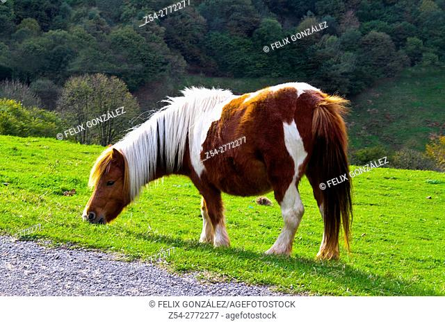 Pony in the prairie, Asturias, Spain