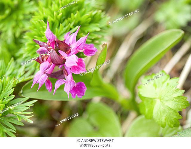 Paint brush Castilleja rhexiifolia, Arctic flora of, Chirpoy Island Bering Sea, Russia, Asia