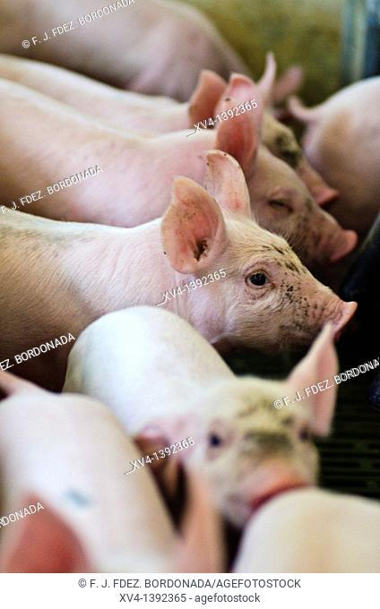 Pigsfarm in Perdiguera, Saragossa  Aragon  Spain