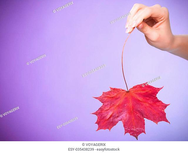 Skincare. Female hand holding leaf as symbol of red dry capillary skin complexion on violet