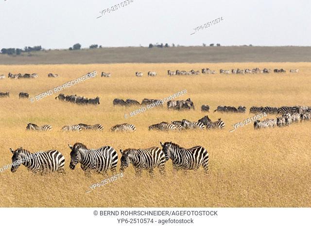 Common Zebras (Equus quagga) migrating, Masai Mara, Kenya