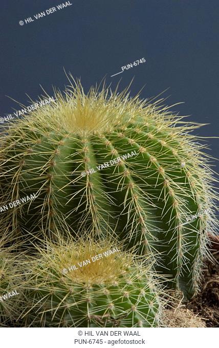 Close-up of a cactus Cactaceae