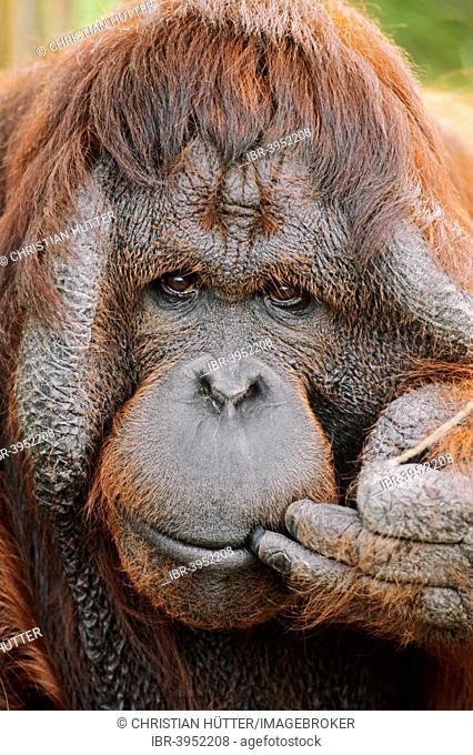 Bornean orangutan (Pongo pygmaeus), male, native to Borneo, captive, Germany