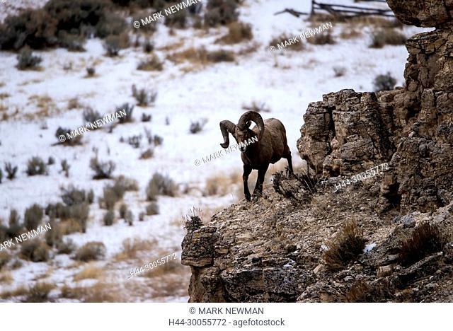 bighorn sheep, ovis canadensis, jasper national park, alberta, canada