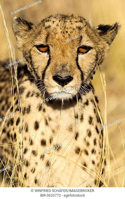 Cheetah (Acinonyx jubatus), Khomas Region, Namibia
