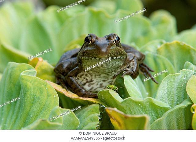 Green Frog (Rana clamitans). Dakota County, Minnesota. Early September