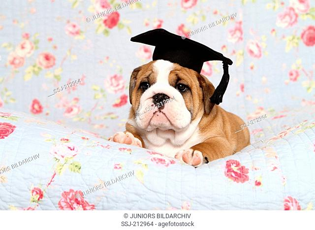 English Bulldog. Puppy (7 weeks old) wearing a mortarboard on its head, lying on a blue blanket with rose flower print. Germany