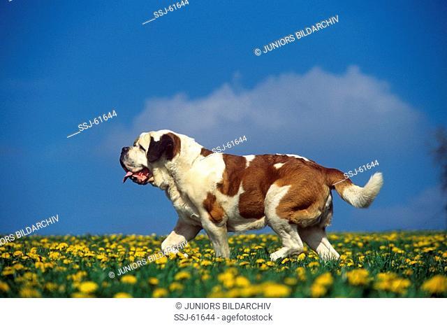 Saint Bernard dog on flower meadow