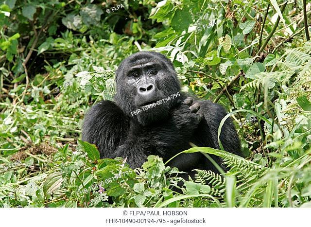 Mountain Gorilla Gorilla beringei beringei adult, amongst vegetation, Uganda