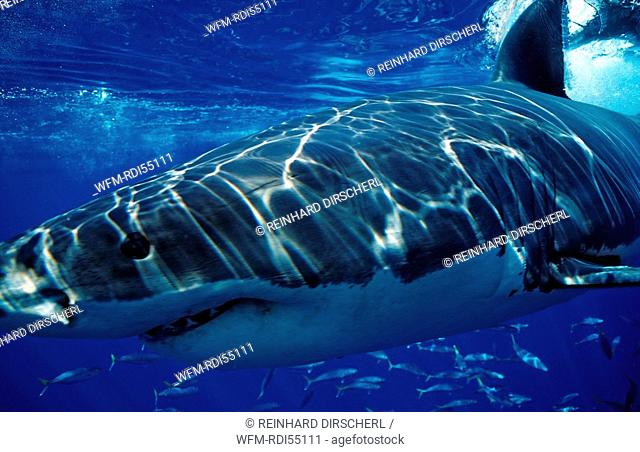 Great White Shark, Carcharodon carcharias, Pacific ocean Guadalupe, Mexico