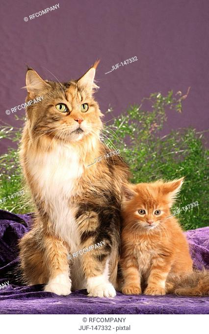 maine coon with kitten - sitting