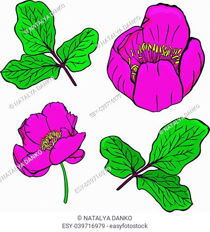 painted dark red peony of a Crimean or peony taurian and green twig with leaves isolated on a white background