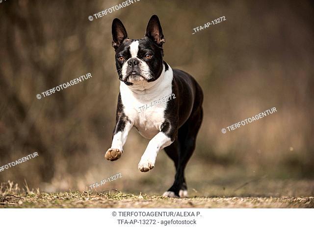 running Boston Terrier