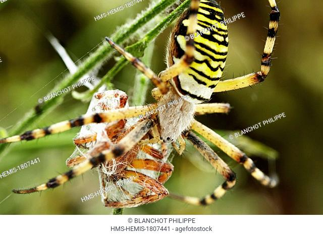 France, Morbihan, Araneae, Araneidae, Wasp spider (Argiope bruennichi), female swaddling its prey, male of Four spot Orbweaver (Araneus quadratus)