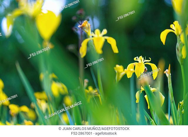 YELLOW FLAG-LIRIO AMARILLO (Iris xiphioides), Flowers, Springtime, Liendo, Cantabria, Spain, Europe