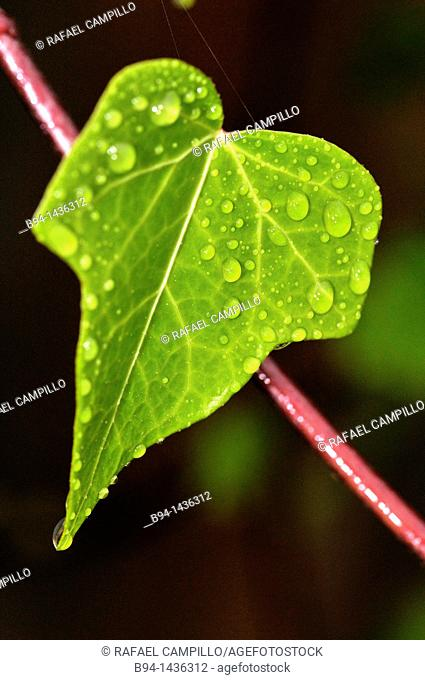 Water droplets on leaf of Hedera helix, Common Ivy or English Ivy. Osseja, Pyrenees-Orientales, Languedoc-Roussillon, France
