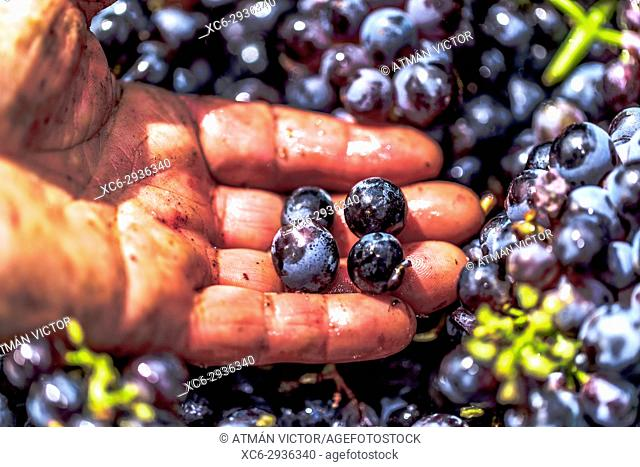 Landworkers picking grapes during the grape harvest season in Tenerife island
