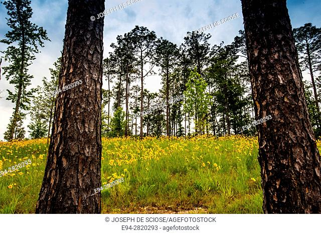 Hillside of Lancelet coreopsis flowers in the spring framed by pine trees