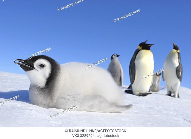 Emperor penguins, Aptenodytes forsteri, Chick is Lying on Ice, Snow Hill Island, Antartic Peninsula, Antarctica
