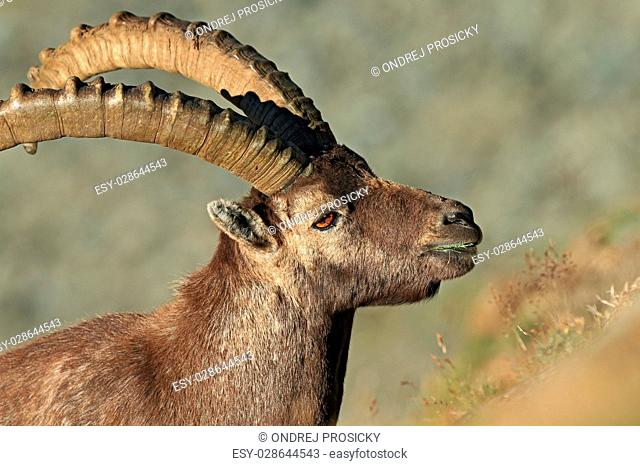 Portrait of antler Alpine Ibex, Capra ibex, with rocks in background