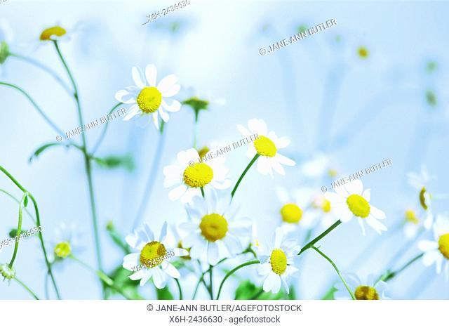 atmospheric feverfew, charming daisy-like tansy