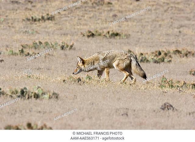 Coyote (Canis latrans), hunting in grassland during fall Yellowstone National Park Wyoming
