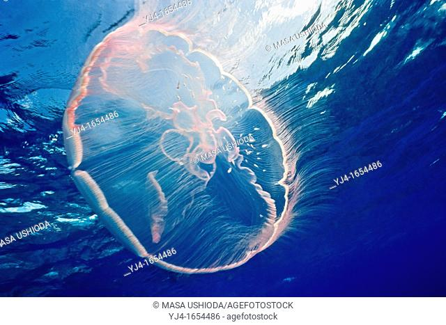 moon jelly, Aurelia aurita, Molasses Reef, Key Largo, Florida Keys National Marine Sanctuary, Florida, USA, Caribbean Sea, Atlantic Ocean