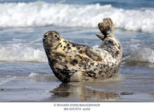 Grey seal (Halichoerus grypus), Heligoland, Schleswig-Holstein, Germany