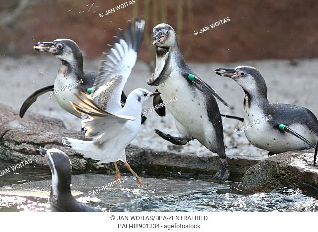 A pidgeon fights with Humboldt penguins at the zoo in Limbach-Oberfrohna, Germany, 8 March 2017. The organisers ofthe Chemnitz Linux Days took over the...