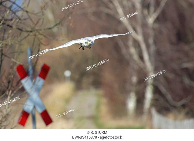 northern goshawk (Accipiter gentilis), albino hunts