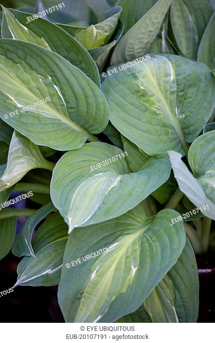 Green leaves with white strip giving the plant its name