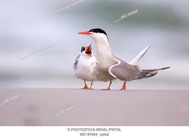 Common tern (Sterna hirundo) Screeching on a beach. This seabird is found in the sub-arctic regions of Europe, Asia and central North America