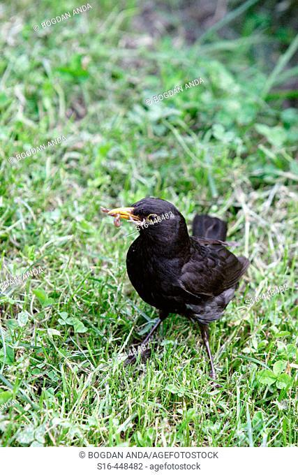 Blackbird with two worms in his beak - Cismigiu Park, Bucharest, Romania