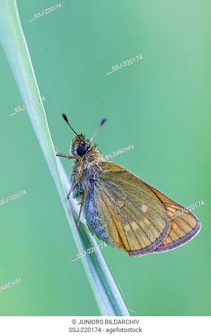 Large Skipper (Ochlodes sylvanus). Female deposing single egg on the underside of a plant. Germany