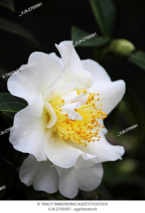 Soft focus close up of a single bloom of a Setsugekka Camellia