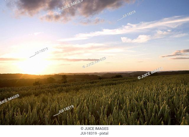 Sun setting on wheat fields