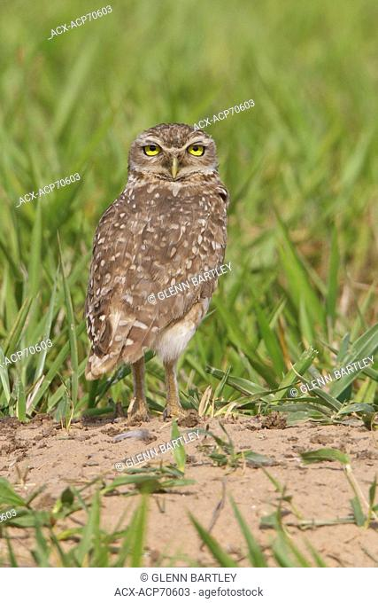 Burrowing Owl (Athene cunicularia) perched on the ground in Bolivia, South America