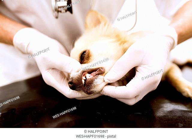 Close-up of vet examining dog in clinic