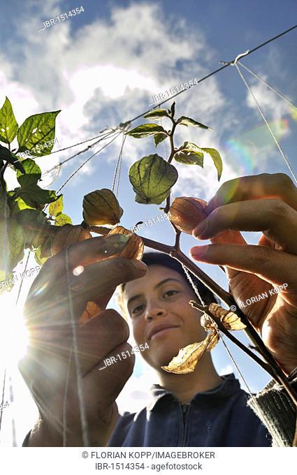 Young woman harvesting Cape gooseberries (Physalis peruviana), Mochuelo Alto, Bogota, Colombia, South America