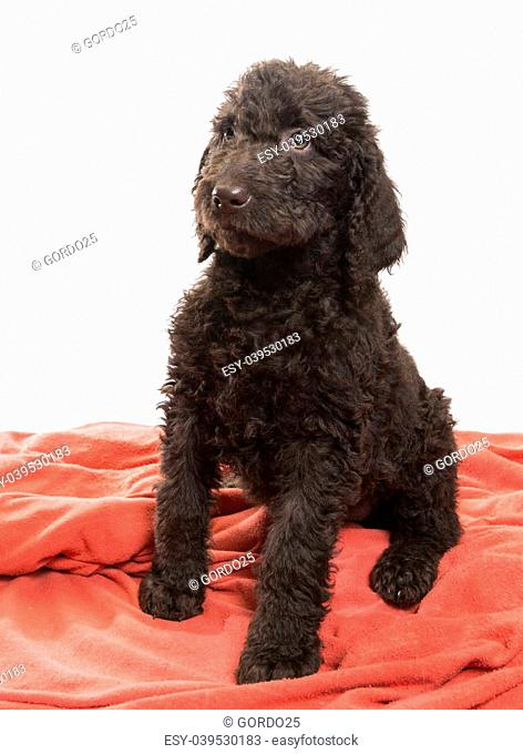 Alert brown labradoodle looking to the side on a white background